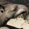 tapír-01