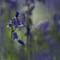 Bluebells: Bluebell bokeh blur