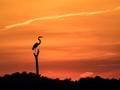 Egret at Sunset