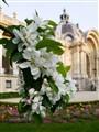 Cerisier Petit Palais