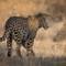 Leopard One Redo