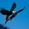 Eagle Fight 5
