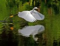 Snowy Egret Lift Off
