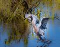 Reddish egret using wings to attract fish