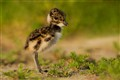 The jung of a Lapwing... how cute!!!