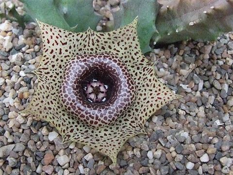 Huernia guttata N of Calitzdorp