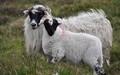 Baa, baa blackface sheep