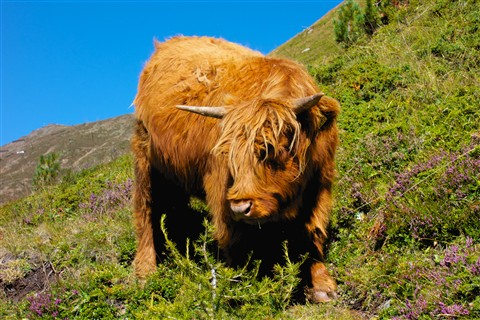 Scottish Highland Steer   2012-09-08    001 (1)