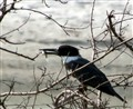 Kingfisher-CROPPED