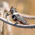 Belted Kingfisher with catch of the day.