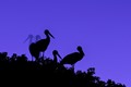 Storks in the blue hour