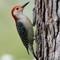 Red Bellied Woodpecker 1 Origwk1_MG_1490