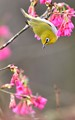 Species: Japanese White-eye