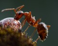 Thirsty ant.