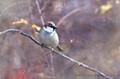 Winter House Sparrow