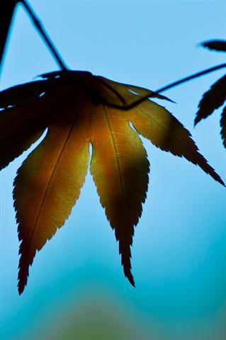 japanese maple leaf crop