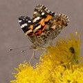 Painted Lady and a Friend