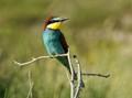 Bee-Eater (European)
