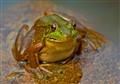 Water Garden Bull Frog
