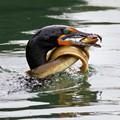 cormorant_with_eel