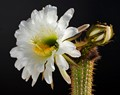 A night blooming cactus from our Mojave garden
