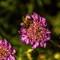 Bee-On-Purple-Flower-Web
