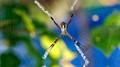 st. andrew's cross spider...