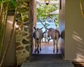 Wild-burros-outside-my-room-near-Cruz-Bay,-USVI