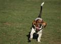 Funny running hound