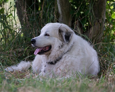 Great Pyrenees LGD