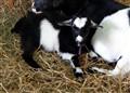 Alpine Fainting Goat