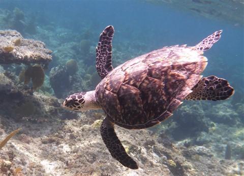 Bhmas_0619_Turtle-E
