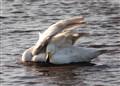 Peek a Boo Swan