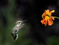 Tiny hummingbird zips to dinner the zips away!!!