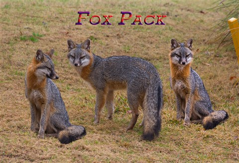 Gray Fox 2-26-13-21-Edit