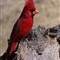cardinal_3973