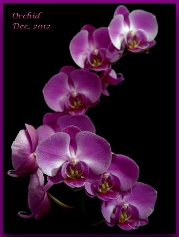 Orchid_0669