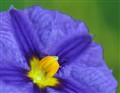 Amended purple passion