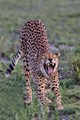 Big Stretch on the Serengeti