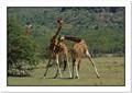 Giraffe in Combat
