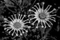 B&W Flowers-9718