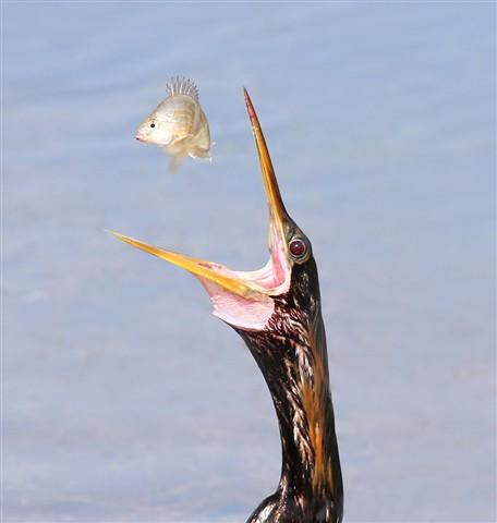 Anhinga Flips Fish