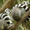 lemur_4x6