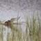 Silvertärna - Arctic tern (Sterna paradisaea)-5