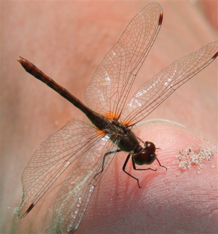 dragonfly perch 2