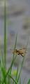 Category-Namphalids,Species,Peraklaskar,Saltlake Park,Kolkata,India.