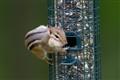 chipmunk stealing bird food