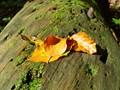 Leaf in Austrian Forrest