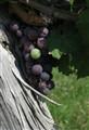 Grapes of St Emilion