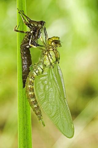 emerge dragonfly paleDSC_0147